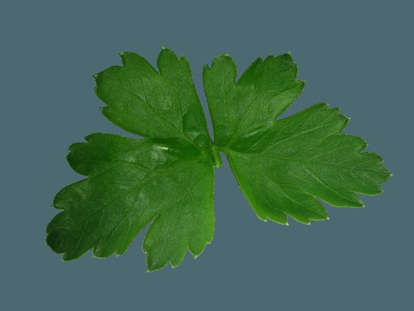 Une feuille de persil