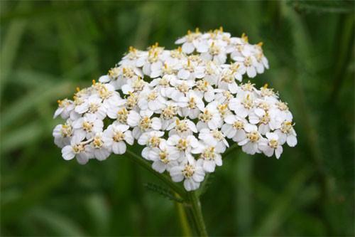 fleur Millefeuille