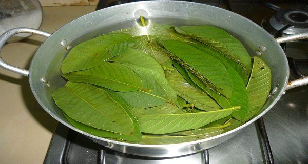 feuilles de goyave