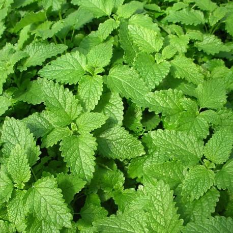 Mélisse, feuilles