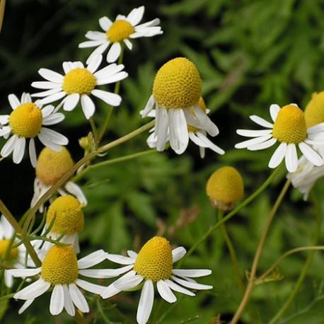 Camomille, fleurs